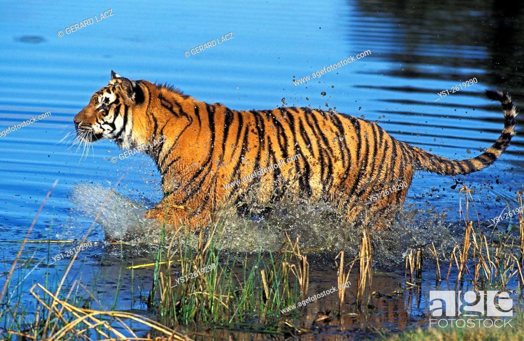 Stock Photo: Bengal Tiger, panthera tigris tigris, Adult standing in Water.