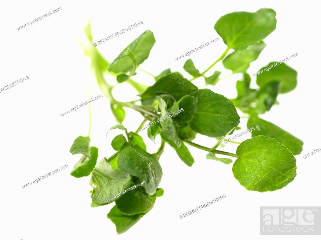 Stock Photo: Bunch of Watercress.