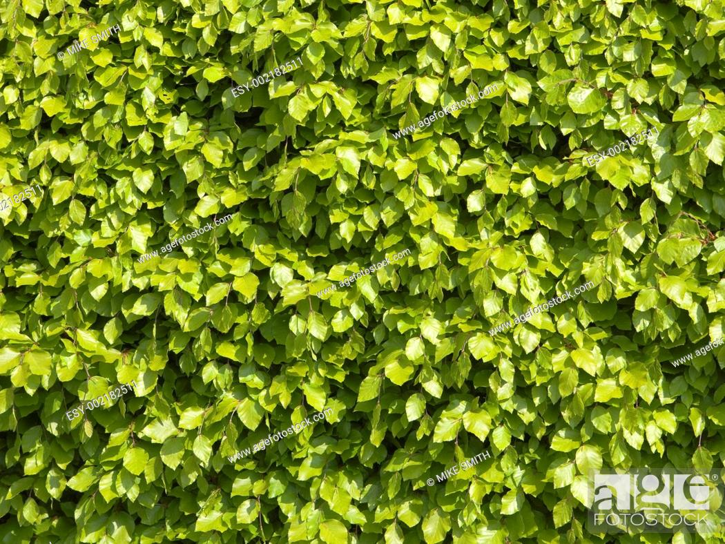 Stock Photo: beech leaf background.