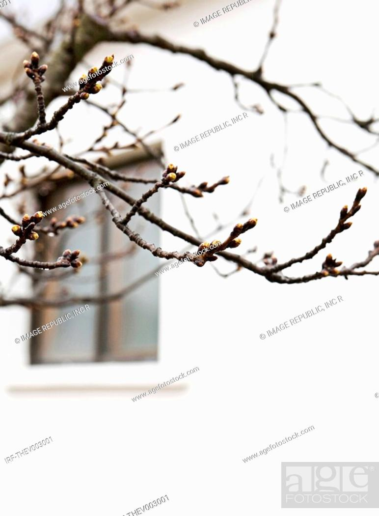 Stock Photo: Japanese apricot tree.
