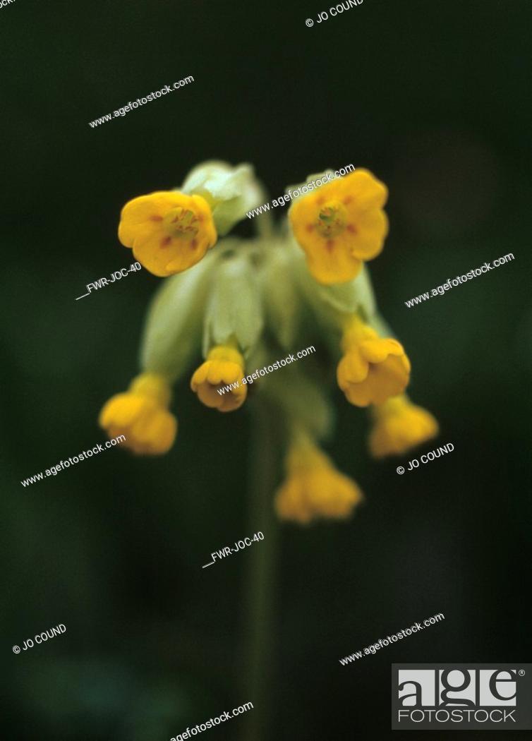 Stock Photo: Primula veris, Cowslip.