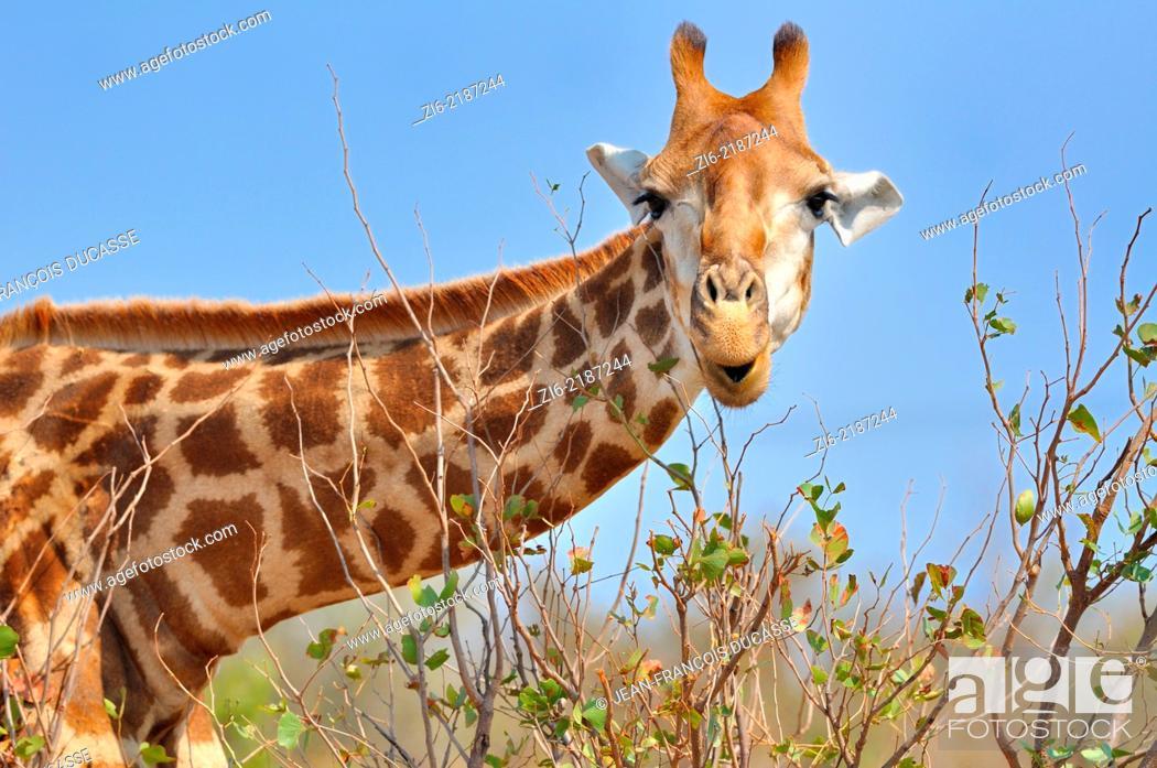 Stock Photo: Giraffe (Giraffa camelopardalis), eating leaves, Kruger National Park, South Africa, Africa.