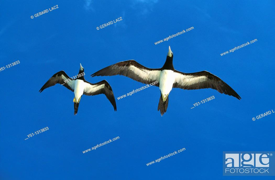 Stock Photo: BROWN BOOBY sula leucogaster, ADULTS FLYING AGAINST BLUE SKY, AUSTRALIA.
