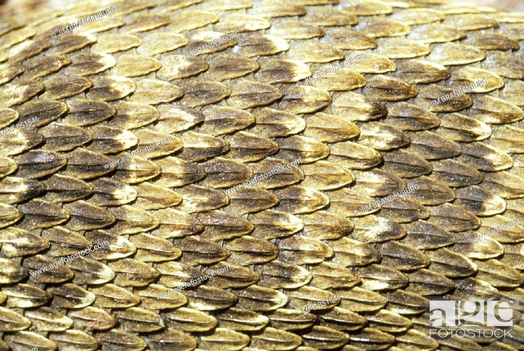 3c9321e626e89 Rattlesnake Skin Stock Photo Picture And Rights Managed Image Pic