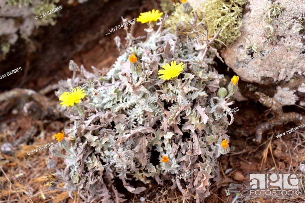 Stock Photo: Estornudera (Andryala glandulosa) is a perennial herb endemic to Macaronesia. This photo was taken in Lanzarote Island, Canary Islands, Spain.