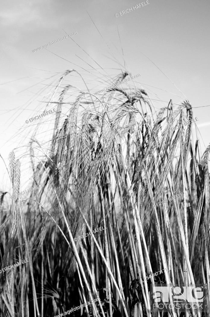Stock Photo: Ripe barley in Bavaria.