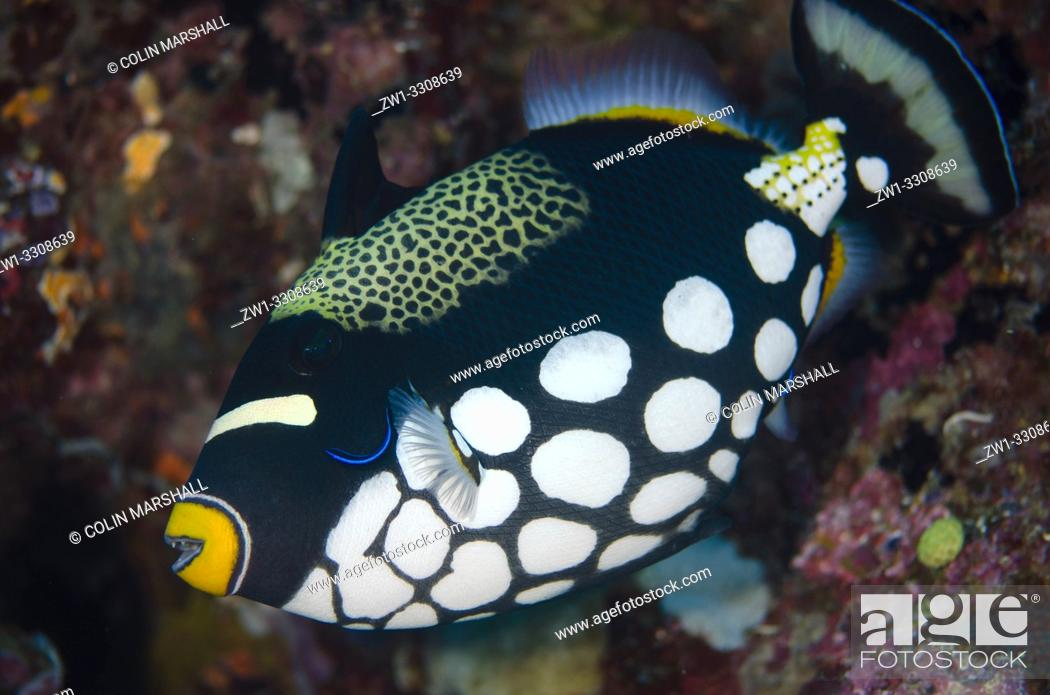 Stock Photo: Clown Triggerfish (Balistoides conspicillum) being cleaned by Bluestreak Cleaner Wrasse (Labroides dimidiatus), Boo Window dive site, Boo Island, Misool.
