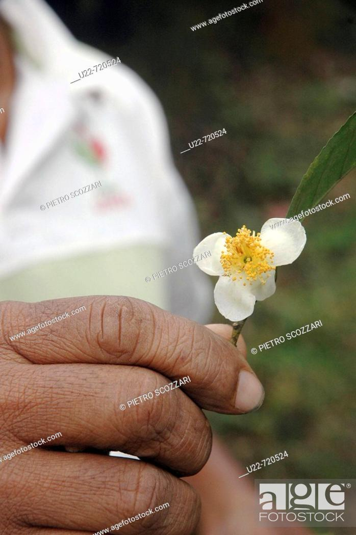 Stock Photo: Kandy Sri Lanka: tea flower, in the tea plantations around the city.