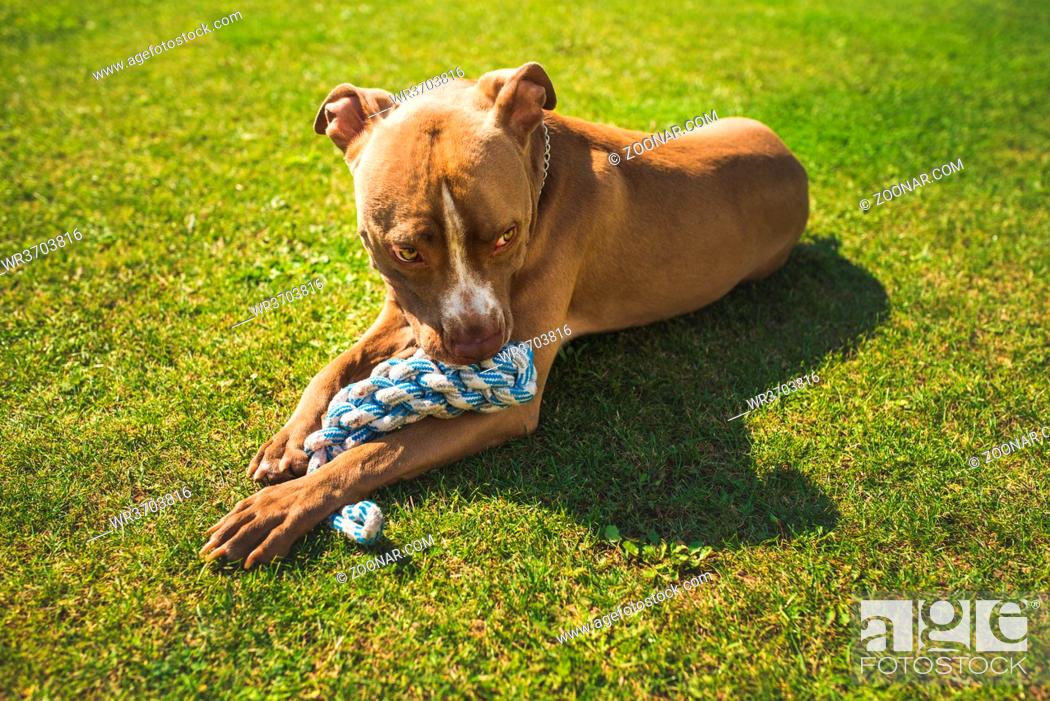 Stock Photo: themeDog American staffordshire terrier, amstaff. Bites rope toy on green grass. Dog background.