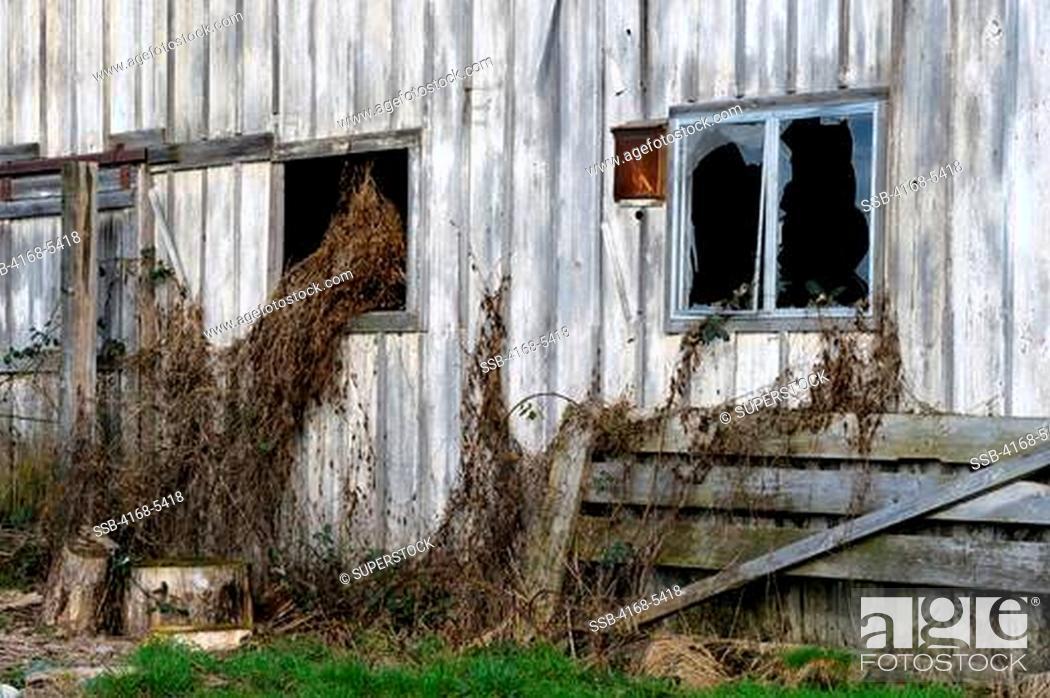 Stock Photo: USA, WASHINGTON STATE, NEAR MOUNT VERNON, OLD BARN FALLING APART, WINDOW WITH DEAD VEGETATION AND BROKEN GLASS.