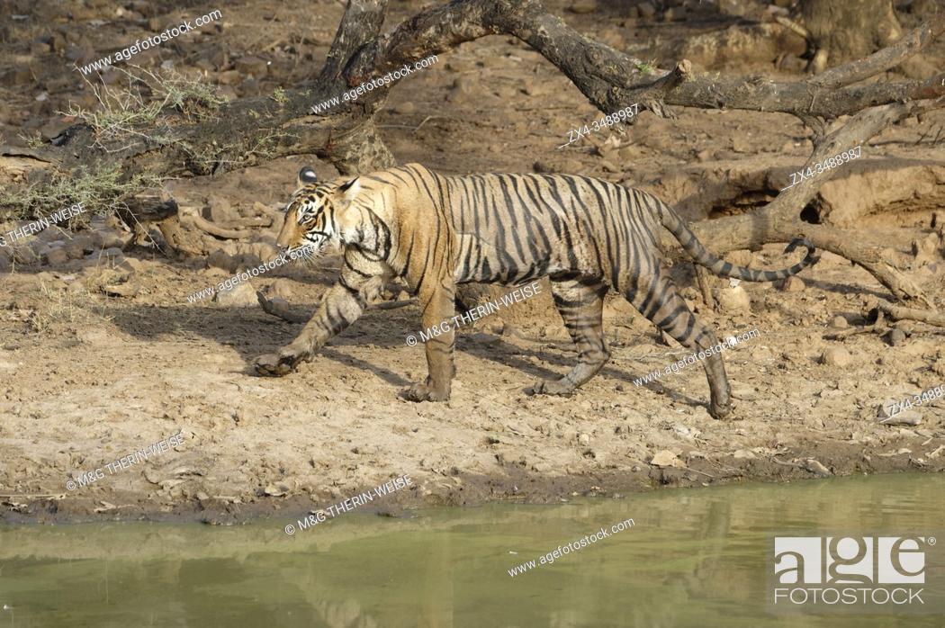 Stock Photo: Female Bengal tiger (Panthera tigris tigris) walking along a pond, Ranthambhore National Park, Rajasthan, India.
