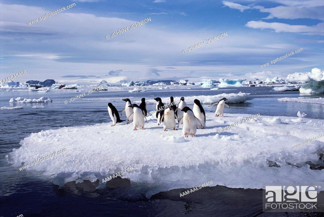 Stock Photo: Adelie Penguins on Ice Floe, Devil's Island, Weddell Sea, Antarctica (Pygoscelis adeliae).
