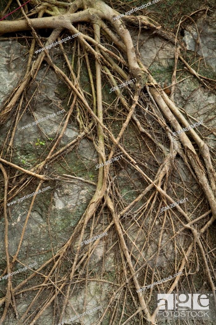 Stock Photo: Root on a wall.