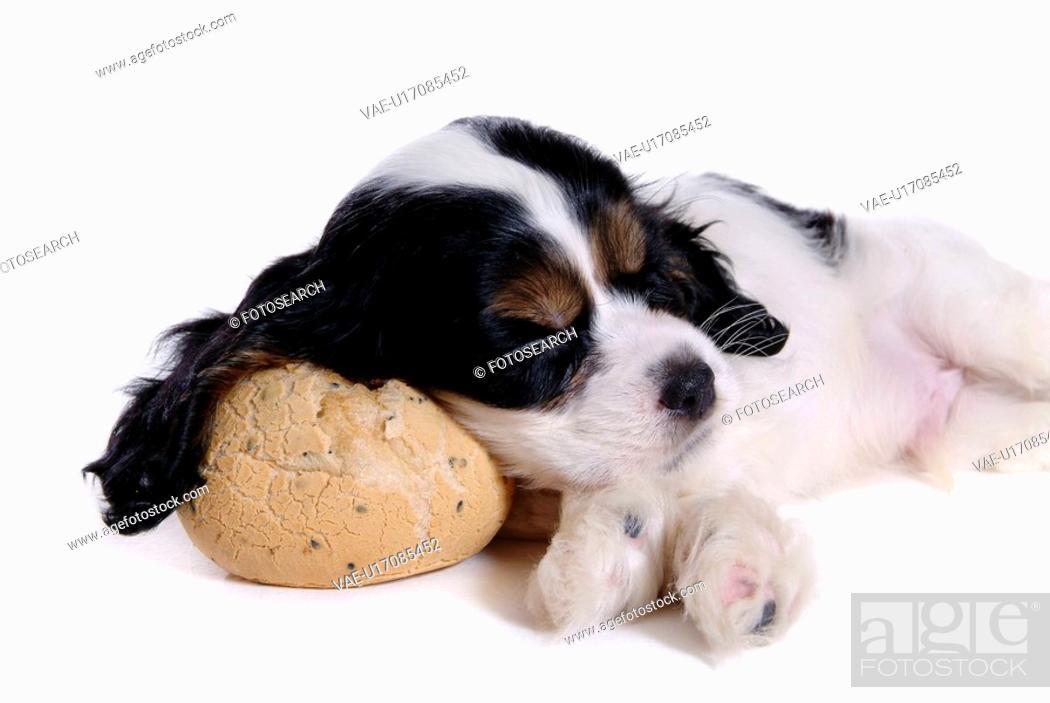 Stock Photo: canines, animal, domestic, cocker spaniel, dog, puppy, pet.
