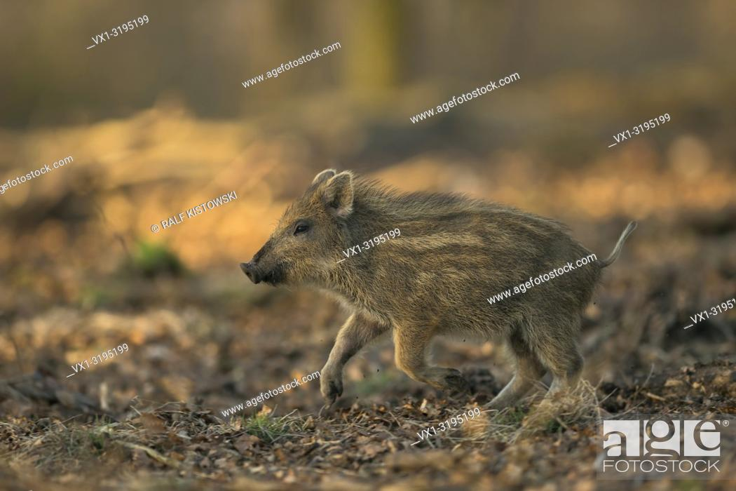 Stock Photo: Wild Boar (Sus scrofa), striped shoat, runs fast through a mixed forest, full of joy, low point of view.