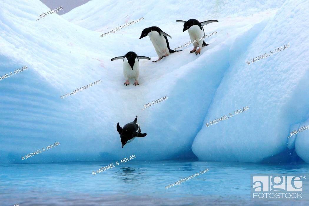 Stock Photo: Adult Adelie penguins Pygoscelis adeliae lining up to leap off of an iceberg at Paulet Island in the Weddell Sea.