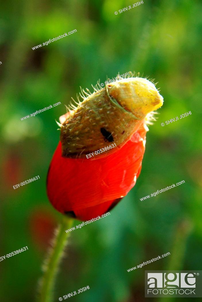 Stock Photo: Poppy bud under process of opening ; Jodhpur ; Rajasthan ; India.