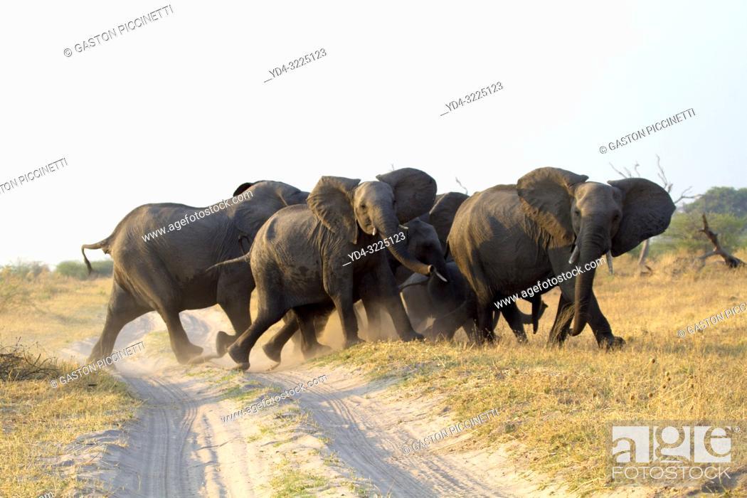 Imagen: African Elephant (Loxodonta africana), in the Savuti marsh. Chobe National Park, Botswana.