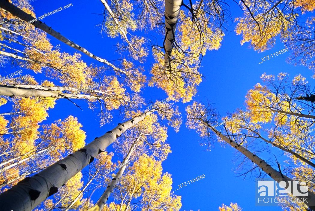 Stock Photo: Goose Creek Mountains, Autumn colors and Aspen trees high in the Goose Creek Mountains of southern, Idaho.