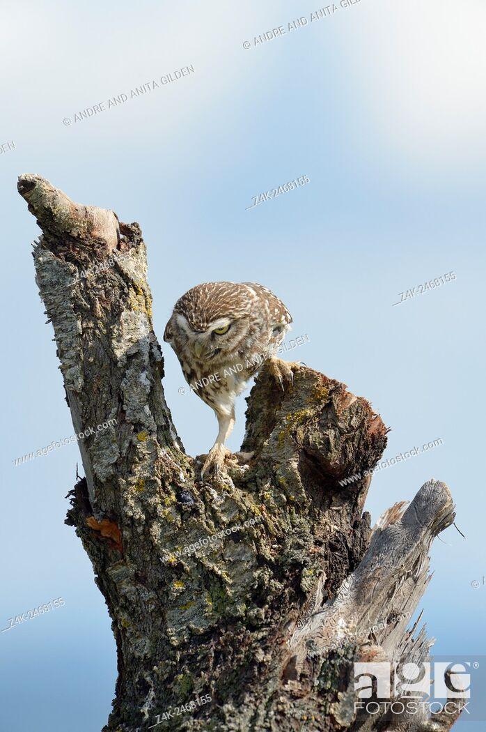 Imagen: Little Owl (Athene noctua) climbing on a treetrunk at sunrise.