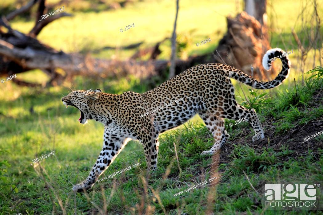 Stock Photo: Leopard (Panthera pardus), adult walking and yawning, Sabisabi Private Game Reserve, Kruger National Park, South Africa, Africa.