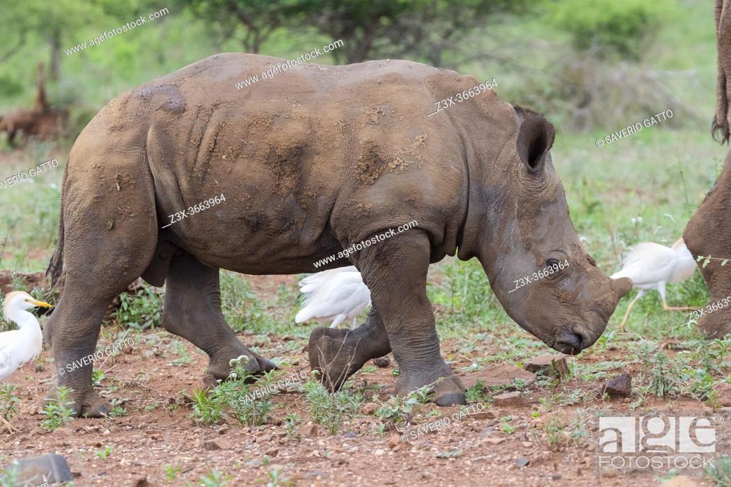 Stock Photo: White Rhinoceros (Ceratotherium simum), a calf walking, Mpumalanga, South Africa.