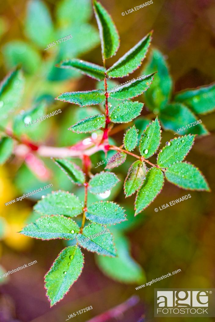 Stock Photo: Leaves from a wild rose bush, Lake Alice, Wyoming, USA.