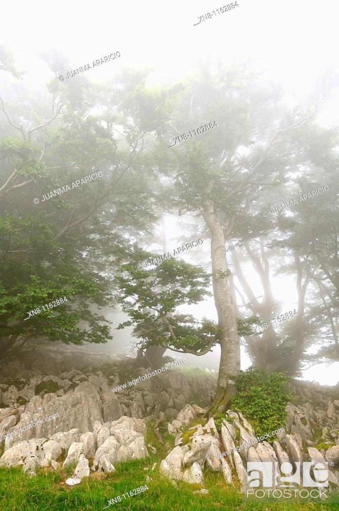 Stock Photo: Hayas surgiendo entre la niebla sobre las rocas.