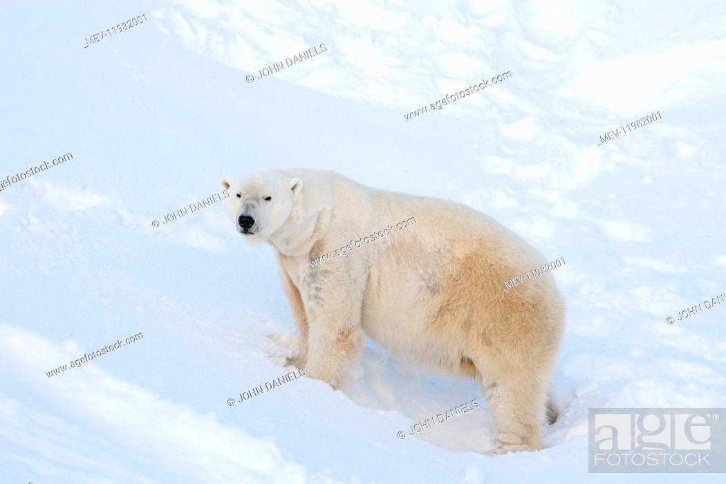 Stock Photo: Mammal. Polar Bear.