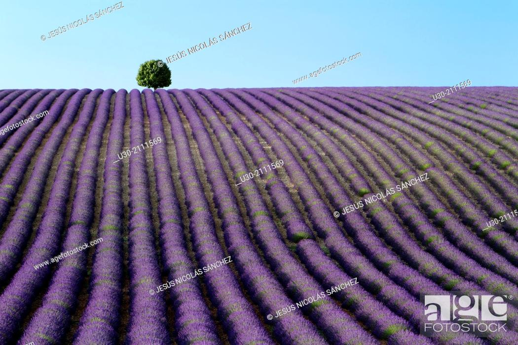 Imagen: Lavender fields (Lavandula angustifolia), in Valensole plateau. Digne-les-Bains district, in Alpes de Haute Provence department and Provence-Alpes-Cote d'Azur.