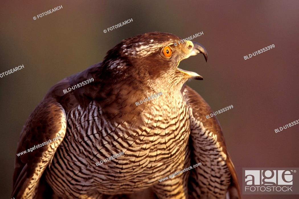 Stock Photo: federn, abenddaemmerung, accipiter, animals, aves.