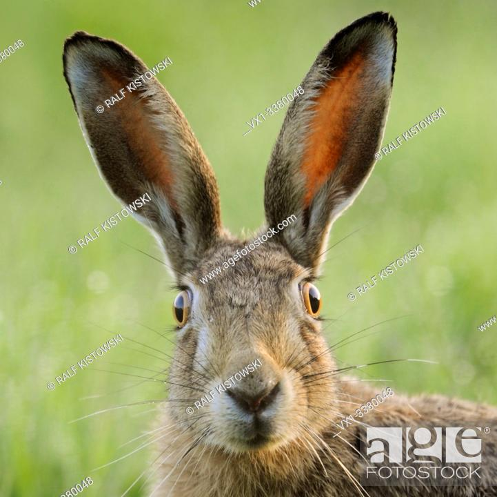 Stock Photo: Brown Hare / European Hare / Feldhase ( Lepus europaeus ) watching surprised, funny close up, detailed frontal view, wildlife, Europe.