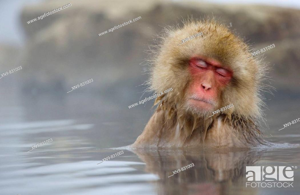 Stock Photo: Sleepy Japanese Macaque Macaca fuscata, inside the thermal springs, Jigokudani Yaen-Koen, Nagano Prefecture Japan.