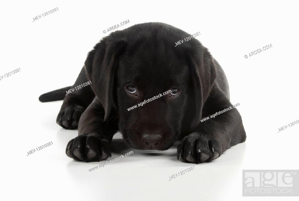 Stock Photo: DOG. Black Labrador puppy laying down, studio, ( 9 weeks old ) 9 weeks old DOG. Black Labrador puppy laying down, studio, ( 9 weeks old ) 9 weeks old.