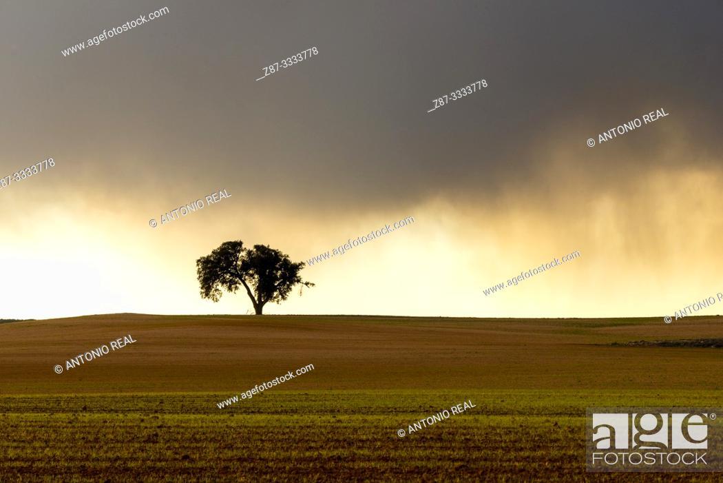 Stock Photo: Cereal fields and Holm Oak (Quercus ilex) with storm clouds. Almansa. Albacete province, Castile-La Mancha, Spain.