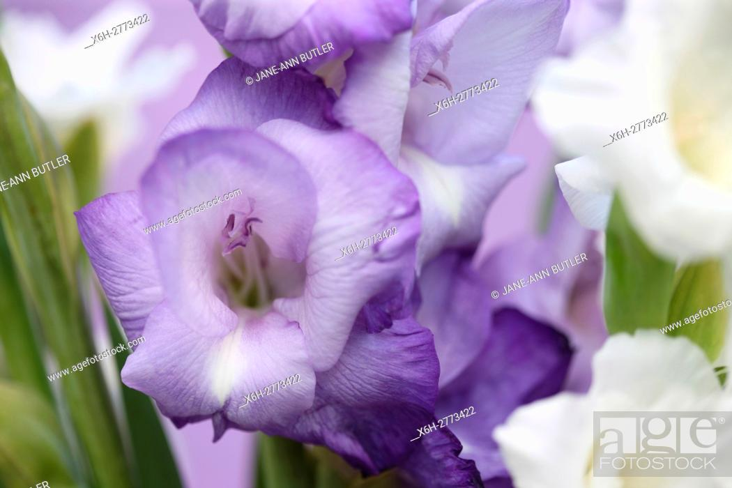 Stock Photo: elegant hardy gladioli, arching flowering stems of purple and white blooms.