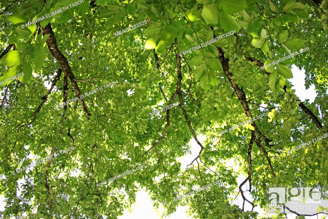 Stock Photo: Treetop in midsummer.