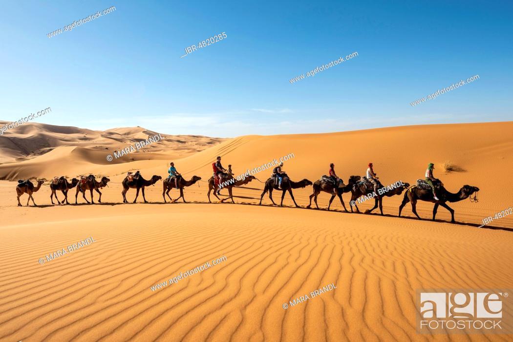 Stock Photo: Caravan with dromedaries (Camelus dromedarius), sand dunes in the desert, Erg Chebbi, Merzouga, Sahara, Morocco.