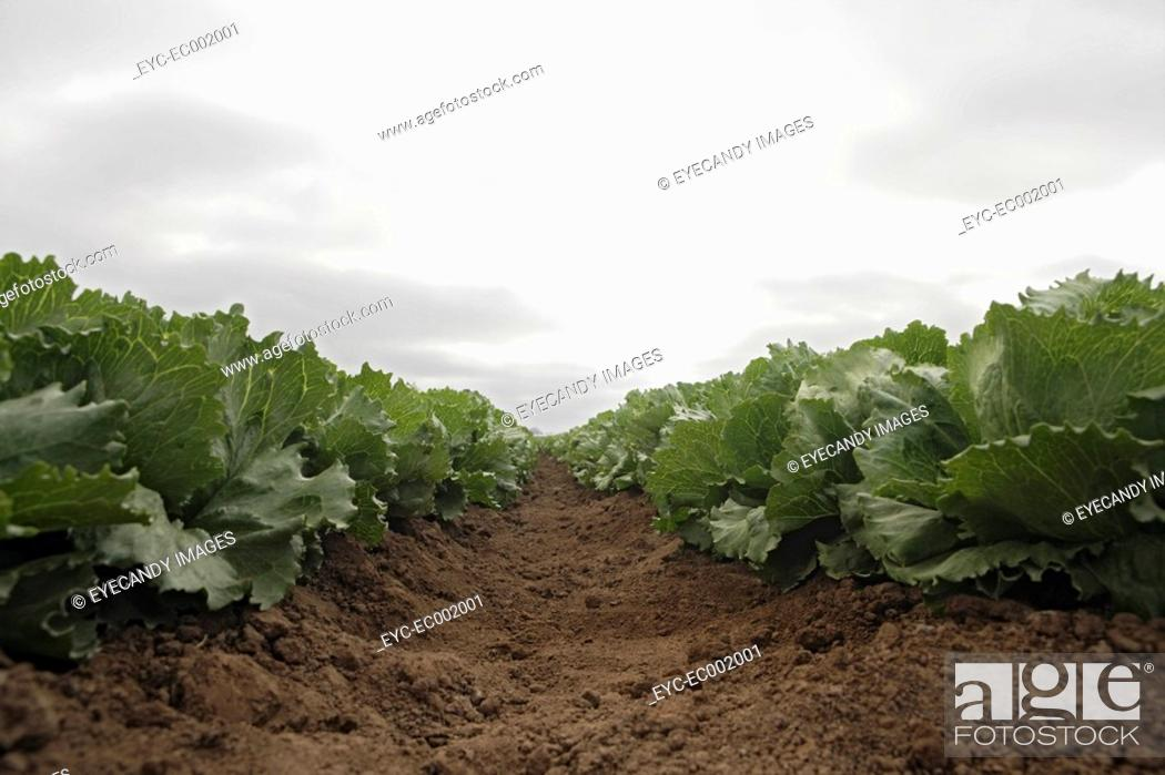 Stock Photo: View of a crop of lettuce.