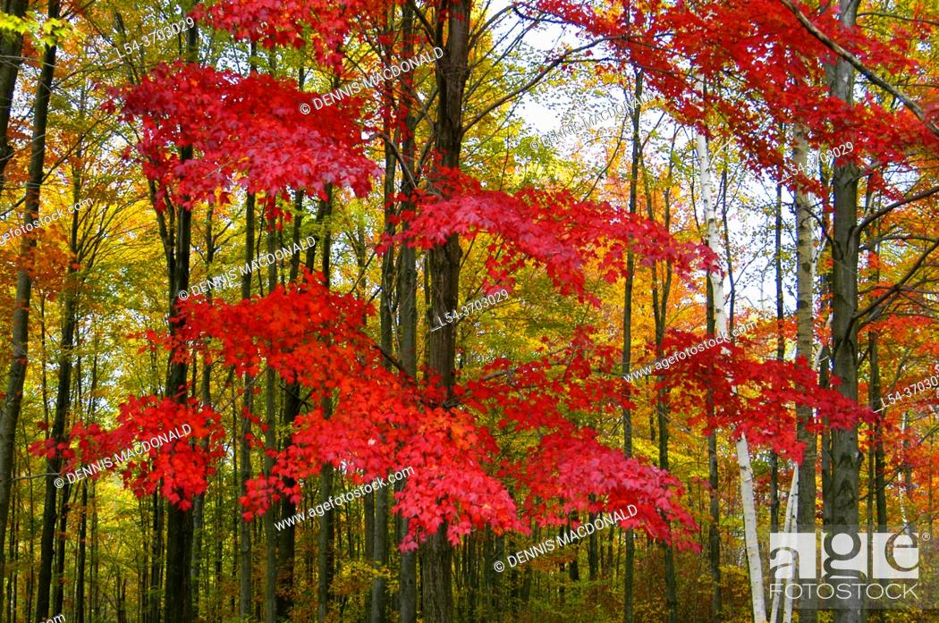 Stock Photo: Beautiful red and golden maple trees in their Fall colors in Southeast Michigan MI near Detroit.