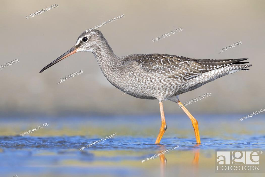Stock Photo: Spotted Redshank (Tringa erythropus), side view of a juvenile standing in the water, Campania, Italy.