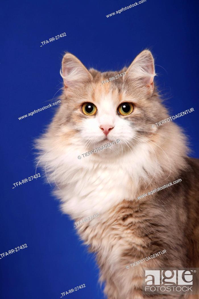 Stock Photo: Siberian Cat Portrait.