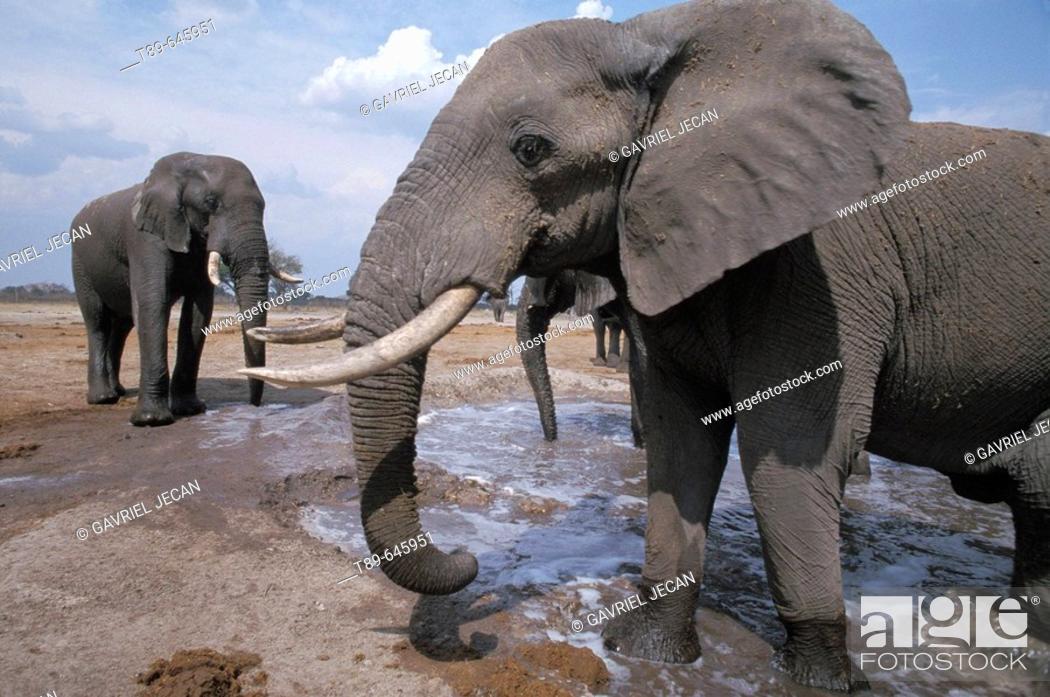 Stock Photo: African elephants at watering hole. Wild (Loxodonta africana).