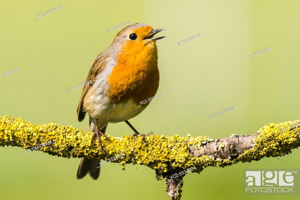 Stock Photo: A Robin (Erithacus rubecula) singing in the Uk.