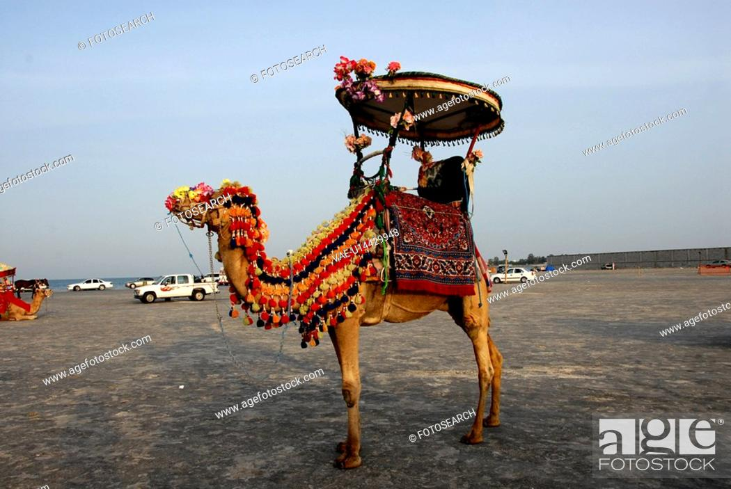 Stock Photo: camel, ride, bahrain.