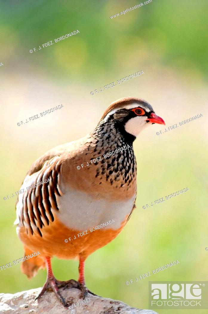 Stock Photo: Alectoris rufa ( Perdiz roja) Poultry farming in Perdiguera, Monegros, Saragose. Spain.
