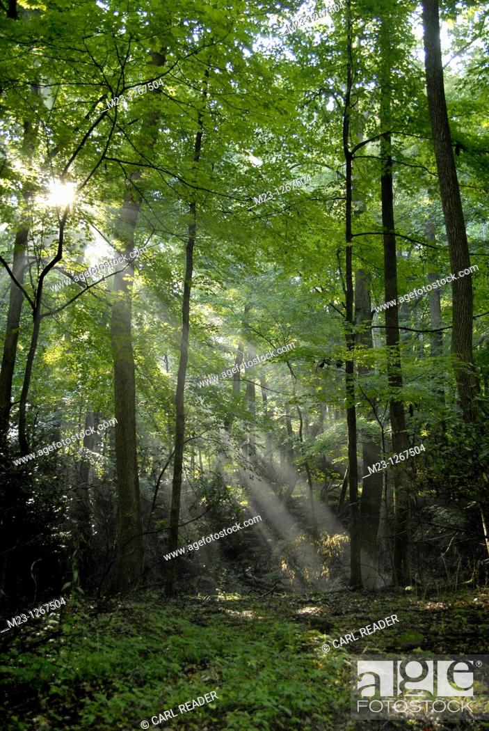 Stock Photo: Beans of sunlight penetrate a forest, Pennsylvania, USA.