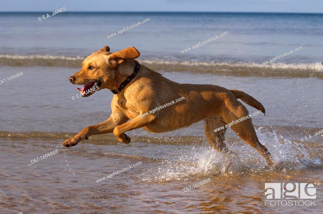 Stock Photo: Yellow Labrador in action along the beach.