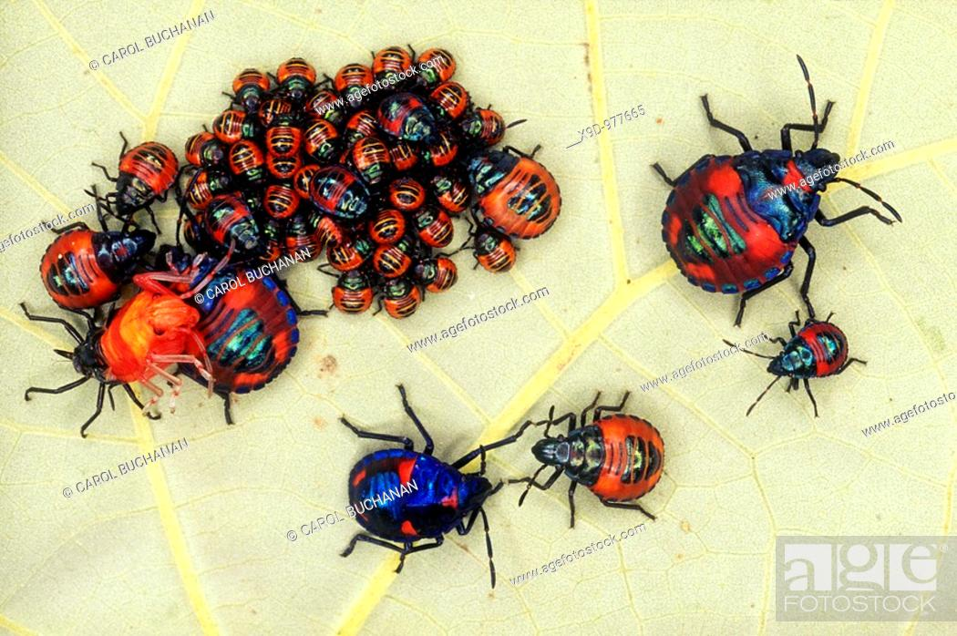 Stock Photo: Cotton Harlequin Bug Nymphs,Tectocoris diophthalmus, sheltering under a leaf of a native hibiscus tree  Also known as Hibiscus Harlequin Bug as they feed on.