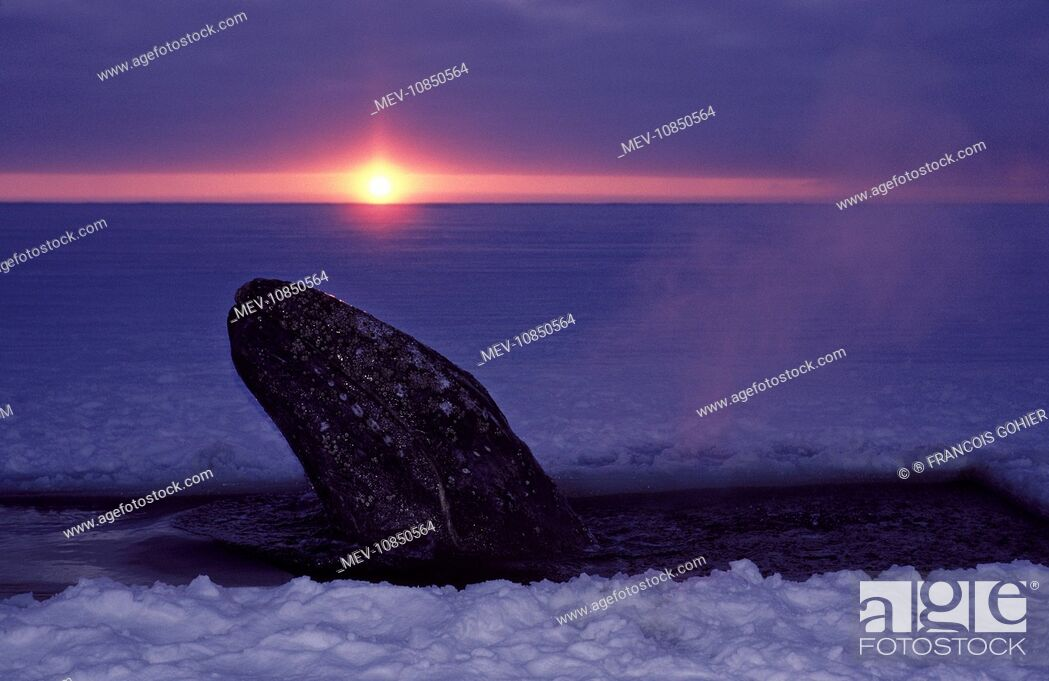 Stock Photo: Grey WHALE - trapped in ice, hole cut by people attempting rescue. (Eschrichtius robustus). Barrow, Alaska, October 1988.